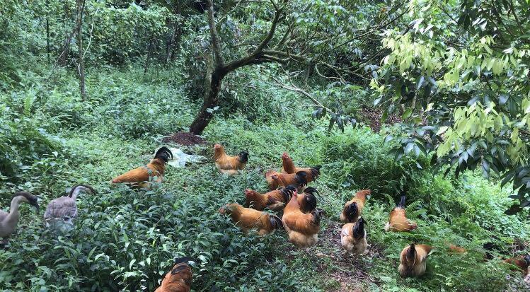生态土鸡有人要吗?